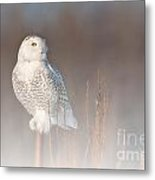 Snowy Owl Pictures 67 Metal Print