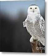 Snowy Owl Pictures 69 Metal Print