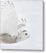 Snowy Owl Pictures 77 Metal Print