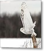 Snowy Owl Pictures 80 Metal Print