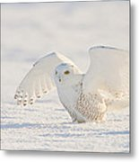 Snowy Owl- Ready For Takeoff Metal Print