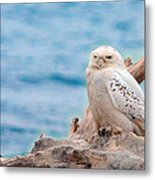 Snowy Owl Resting On Log Metal Print