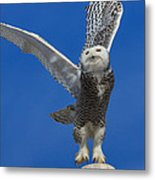 Snowy Owl Taking Flight Metal Print