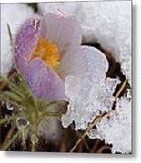 Snowy Pasqueflower Metal Print