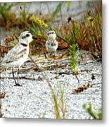 Snowy Plover And Chick Metal Print