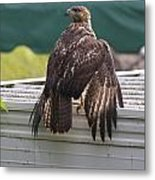 Soaked Red-tailed Hawk Metal Print
