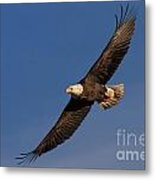 Soaring Bald Eagle Metal Print