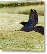 Soaring Boat-tailed Grackle - Glow Metal Print