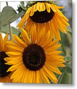 Soft Colors Sunflowers Metal Print