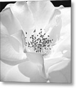 Soft Petal Rose In Black And White Metal Print