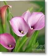 Soft Pink Calla Lilies Metal Print
