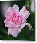 Soft Pink Miniature Rose Metal Print by Rona Black
