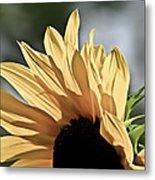 Soft Sunny Sunflower Metal Print