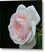 Softly Pink - Rose Metal Print