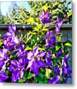 Solina Clematis On Fence Metal Print