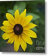 Solo Black-eye Susan Metal Print