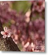 Solo In The Blossom Chorus Metal Print