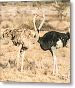 Somali Ostriches Kissing Metal Print