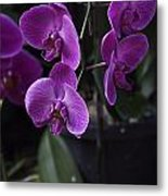 Some Very Beautiful Purple Colored Orchid Flowers Inside The Jurong Bird Park Metal Print