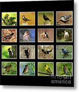 Song Birds Of Canada Collection Metal Print
