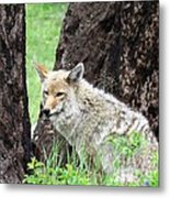 Song Dog Of The West Metal Print