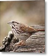 Song Sparrow On Stump Metal Print