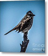 Song Sparrow On Top Of Branch Metal Print