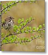 Song Sparrow Pictures 111 Metal Print