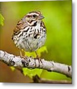 Song Sparrow Pictures 132 Metal Print