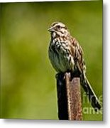Song Sparrow Pictures 135 Metal Print
