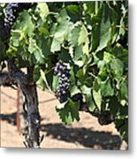 Sonoma Vineyards In The Sonoma California Wine Country 5d24488 Metal Print by Wingsdomain Art and Photography