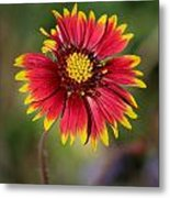 Sonoran Blanket Flower Metal Print