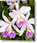 Sophronitis Orchid Metal Print