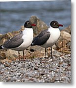 Mr. And Mrs. Laughing Gull  Metal Print