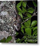 Southern Flying Squirrel Metal Print