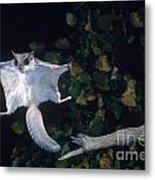 Southern Flying Squirrel Metal Print by Nick Bergkessel Jr