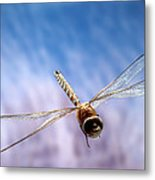 Southern Hawker Dragonfly  Metal Print