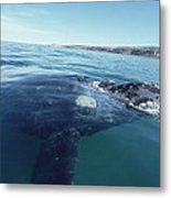 Southern Right Whale At Surface Metal Print