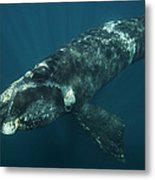 Southern Right Whale Calf Valdes Metal Print