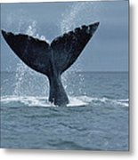 Southern Right Whale Fluke Argentina Metal Print