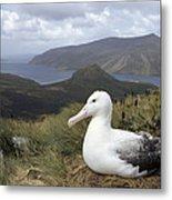 Southern Royal Albatross On Nest Metal Print