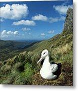 Southern Royal Albatross Metal Print