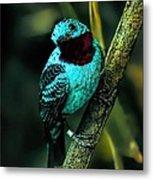 Spangled Cotinga Turquoise Bird Metal Print