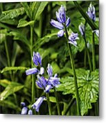 Spanish Bluebells Metal Print