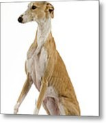 Spanish Galgo Metal Print
