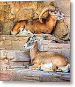 Spanish Ibex Metal Print