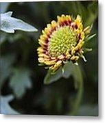 Spark Gaillardia Flower Bud Metal Print