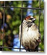Sparrow On A Wire Fence Metal Print