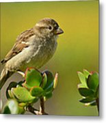 Sparrow Song 5 Metal Print