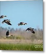 Speckled Belly Geese Coming In For A Landing Metal Print